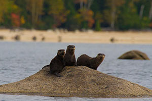 Otters playing on the St. Croix river